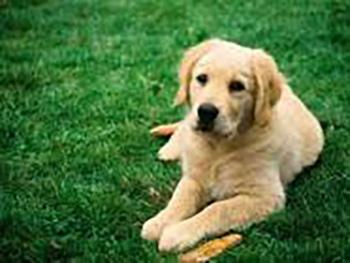 labdog