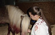 LNO History ..January 03, 2004..... Shetland Pony Viciously Attacked by Neighbor's Pit Bull